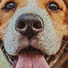 huisdier-hond